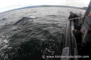 Rescuers free humpback 'anchored' down by prawn traps off Vancouver Island – Kimberley Daily Bulletin - Kimberley Bulletin