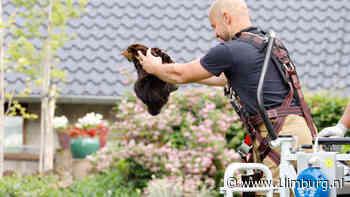Brandweer redt poes uit boom - 1Limburg   Nieuws en sport uit Limburg