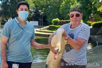 Zwaan 'Jan' maakt intrede in Park Mariadal nadat vorig mannetje werd doodgebeten door loslopende honden - Het Nieuwsblad