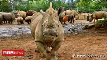 White rhino Emma travels to Japan to find love and a mate