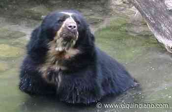 Por ataques del oso andino al ganado en Génova se firmará alianza para su protección - El Quindiano S.A.S.