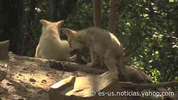Cinco lobeznos mexicanos aumentan la esperanza en mantener la especie - Yahoo Noticias