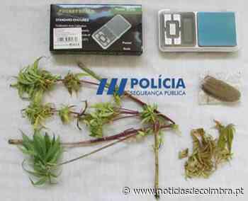 Figueira da Foz: Mulher planta liamba em casa - Notícias de Coimbra