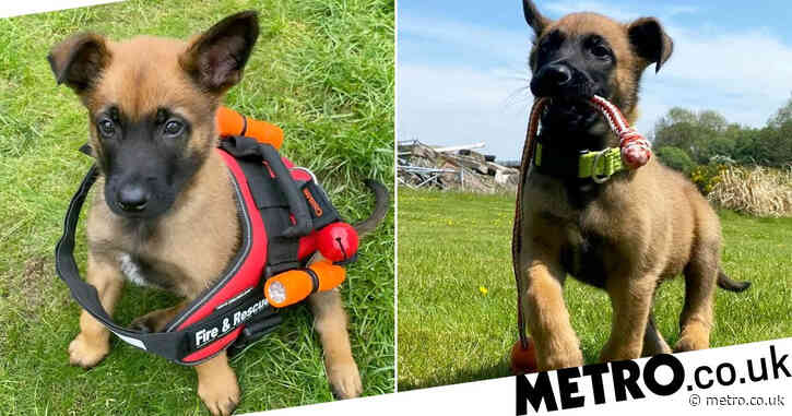 Adorable puppy begins training for fire and rescue service