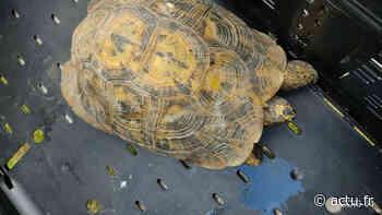 Pont-Sainte-Maxence : les pompiers au secours d'une tortue égarée - actu.fr