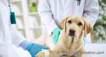 Falsos veterinarios en Corrientes: Alertan que es una práctica común - CorrientesHoy.com