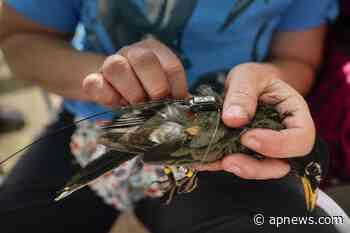 La era dorada de la investigación de la migración de aves - AP News
