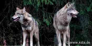 Kreis Euskirchen: Wolfspaar riss fünf Schafe im Raum Monschau - Kölner Stadt-Anzeiger