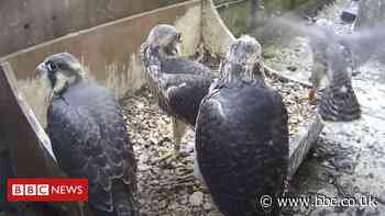 Salisbury Cathedral peregrines provide dramatic footage