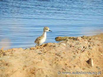 Especialistas mostram as aves na Praia de Faro e na Culatra ao longo do Verão - Sul Informacao