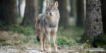 Tier kommt aus Bayern: Erneut wurde ein Wolf in Hennef nachgewiesen - Kölnische Rundschau