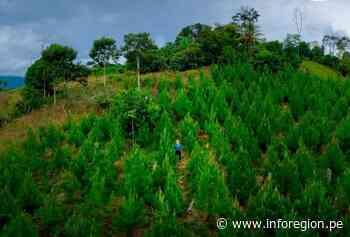 Vraem: Producen 134 mil plantones de especies forestales en Santa Rosa - INFOREGION