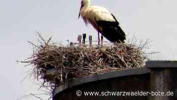 Drei Jungstörche im Nest - Keine Visitenkarte am Bein - Schwarzwälder Bote