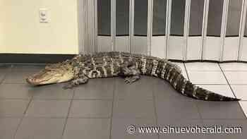 Encuentran un cocodrilo enorme dentro de una oficina de correos de Florida - El Nuevo Herald