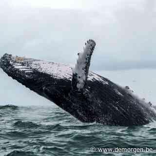Amerikaanse kreeftvisser wordt opgeslokt door walvis en overleeft
