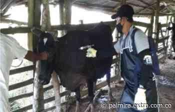 Guaviare supervisa predios vacunados contra fiebre aftosa y brucelosis bovina - Extra Palmira