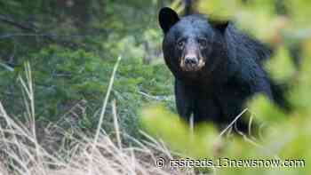 Bear spotted in Chesterfield County yards, gardens
