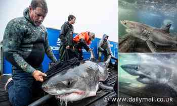 Shark taggers warn of four huge great white sharks prowling along the waters of NY and NJ