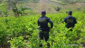 Localizan supuesto narcolaboratorio y cultivo de hoja de coca en Colón - Proceso Digital