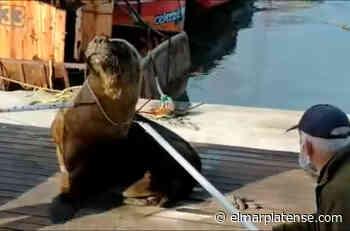 Liberaron un lobo marino atrapado en Mar del Plata - El Marplatense