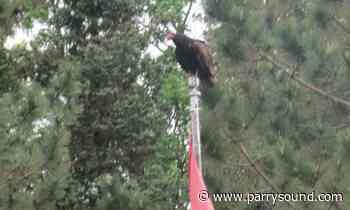 Turkey vultures, the ultimate scavengers in Parry Sound-Muskoka - parrysound.com