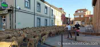 Cerca de 1.500 ovejas y cabras cruzan San Andrés en su recorrido transhumante hacia la montaña - leonoticias.com