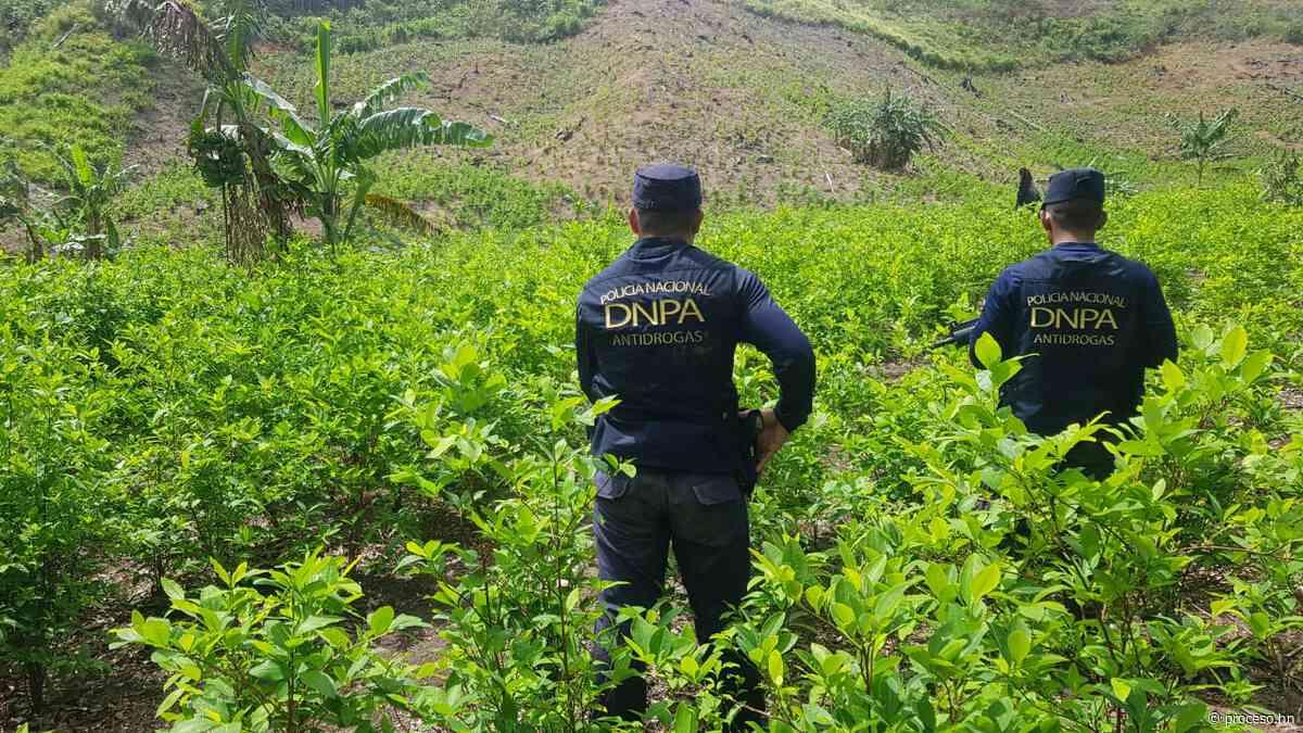 Hallan cultivos de coca y narcolaboratorio en Colón - Proceso Digital