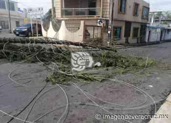 Caída de un pino suspendió servicios básicos en Nanchital - Imagen de Veracruz