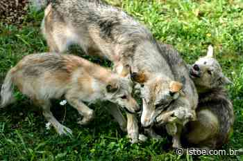 Lobos nascem no estado americano do Colorado pela primeira vez em 80 anos - ISTOÉ