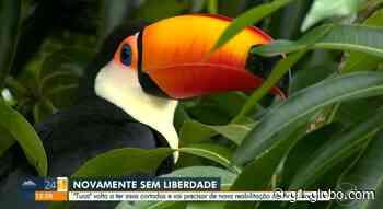Tucano fêmea mascote de Artur Nogueira tem asa cortada e pode demorar 6 meses para voltar a voar - G1