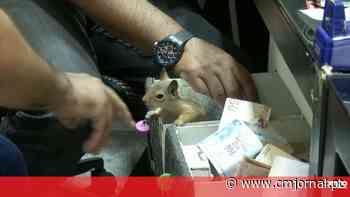 Memocan: o esquilo que guarda a caixa registadora de uma joalharia e que só deixa o dono aproximar-se - Correio da Manhã