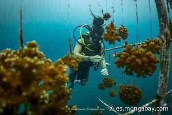 La ciencia de 'sembrar' corales en el Pacífico de Costa Rica - Mongabay en Español