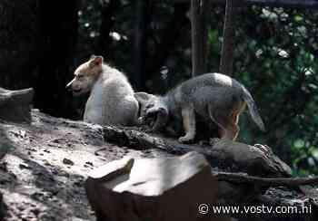 El nacimiento de 5 lobos mexicanos aumenta la esperanza de mantener la especie • VosTV - VosTV
