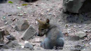 Zoológico de Chapultepec da la bienvenida a 5 lobos mexicanos, una especie en peligro de extinción - CNN