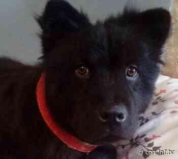 Cachorro desapareceu de residência localizada no Bairro Perolo, em Cascavel - CGN