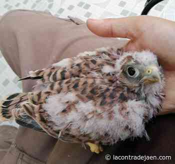 El vuelo más libre del cernícalo que cayó en el Castillo de Lopera - Lacontradejaen