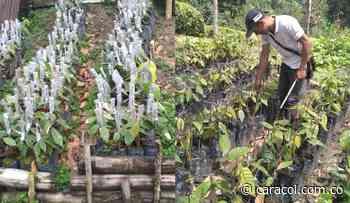 Con injertos manuales mejoran las condiciones del cacao en Manizales - Caracol Radio