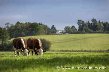 Farming bosses say Hereford cattle isn't bad for the environment