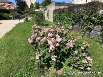 L'improbable renaissance de la rose d'Annemasse - Le Messager