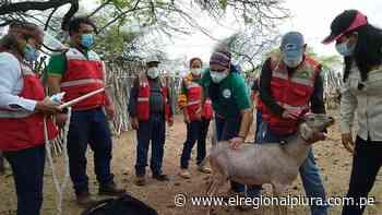 Sullana: inician protocolo de inseminación artificial de ganado caprino en Lancones - El Regional