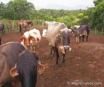 A pequeños ganaderos de Riohacha los asechan el abigeato y el verano - La Guajira Hoy.com