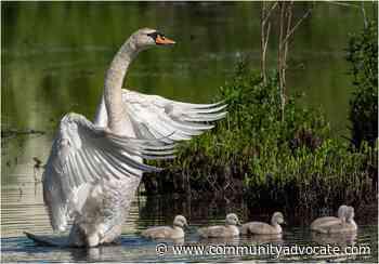 Swan family enjoys Hudson pond - Community Advocate