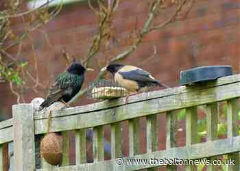 Rare Rose-coloured Starling spotted in Horwich, Bolton
