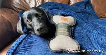 Labrador dubbed UK's luckiest dog after surviving being impaled by tree branch