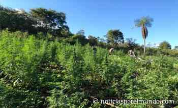   Operativo en Capitán Bado: sacan de circulación más de 117 toneladas de marihuana - Noticias Paraguay - Noticias por el Mundo