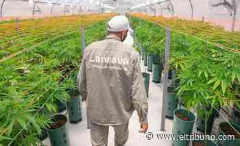 La posición de Salta dentro del negocio del cannabis - El Tribuno.com.ar