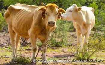 Disminuye 30 por ciento del hato ganadero por sequía extrema - El Heraldo de Chihuahua
