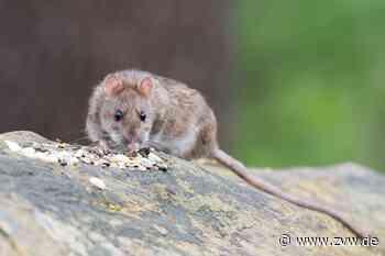 Auffallend viele Ratten in Winnenden - Winnenden - Zeitungsverlag Waiblingen
