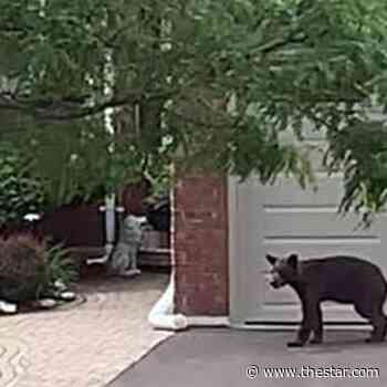 Three places you might spot a bear in Courtice - Toronto Star