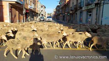 Un rebaño trashumante atraviesa San Andrés - La Nueva Cronica